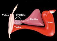 Próstata Femenina